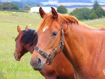 koń użytków zielonych Zdjęcia Royalty Free