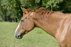 Koń w łące Obrazy Royalty Free