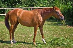 Koń w karmie upały w słońcu i trawa Zdjęcia Stock