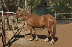 Koń w ogródzie przy słońca miastem Obrazy Royalty Free