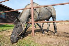 Koń w padoku Obraz Royalty Free