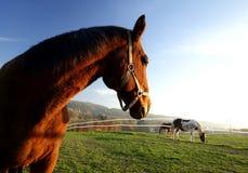 Koń w położenia słońcu Obrazy Royalty Free