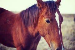 Koń w polanie je trawy, wieczór, zmierzch Biały koń jesień początkująca trawy zieleń opuszczać kolor żółty Obraz Royalty Free