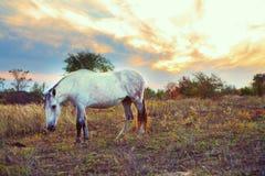Koń w polanie je trawy, wieczór, zmierzch Biały koń jesień początkująca trawy zieleń opuszczać kolor żółty Fotografia Stock