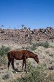 Koń w pustyni Fotografia Royalty Free