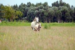 Koń z źrebię cwałem przez pole Obraz Royalty Free