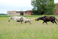 Koń z źrebię cwałem przez pole Fotografia Royalty Free