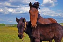 Koń z źrebięciem na łące Fotografia Royalty Free
