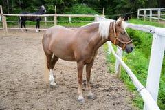 Koń z białą grzywą Zdjęcia Stock
