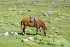 Koń z comberem na zielonej łące Zdjęcie Royalty Free