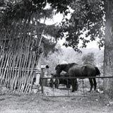 Koń z furą behind łozinowy ogrodzenie pod drzewem przy latem Obrazy Royalty Free