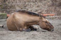 Koń z kolką kłaść puszek i śpi outside Obraz Royalty Free