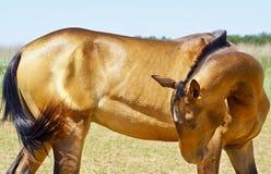 Koń z krótką czarną grzywą i biały blask na jego głowie Zdjęcia Royalty Free
