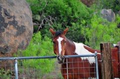 Koń za płotową pozycją i patrzeć Zdjęcia Stock