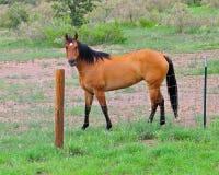 Koń za płotową pozycją i patrzeć Fotografia Royalty Free