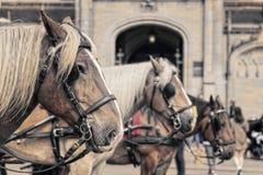 Koń zamknięty w górę, z innymi koniami z ostrości; zdjęcia royalty free