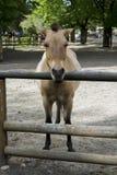 Koń, zoo, dziki, przewalski, zwierzę, equus, mongolian, natura, konie zagrażający, piękny, azjata, przewalskii, rzadki, ferus, br obrazy stock