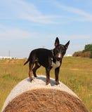 Końcówka lato - Angielski Bull Terrier na siano beli na czystym niebieskim niebie i łące obrazy royalty free