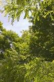 kończyny miodowa szarańcza Zdjęcia Royalty Free