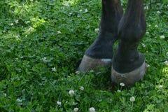 Końscy kopyta na gazonie koń pastwiskowy Fotografia Stock