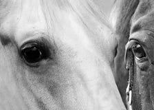 Końscy oczy Fotografia Stock