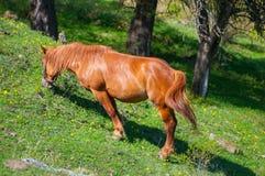 Końska łasowanie trawa Obrazy Royalty Free