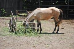 Końska łasowanie trawa na słonecznym dniu Obrazy Royalty Free
