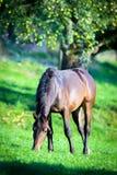 Końska łasowanie trawa w polu Fotografia Stock