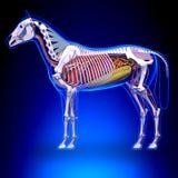 Końska anatomia - Wewnętrzna anatomia koń ilustracji