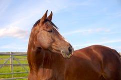 Końska głowa i ramiona Zdjęcia Royalty Free