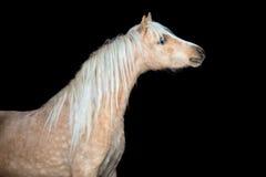 Końska głowa odizolowywająca na czarnym, Walijskim koniku, Fotografia Stock