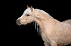 Końska głowa odizolowywająca na czarnym, Walijskim koniku, Zdjęcia Royalty Free