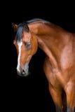 Końska głowa odizolowywająca na czerni, Holstein koń Zdjęcia Stock