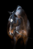 Końska głowa odizolowywająca na czerni, Trakehner koń Obrazy Stock