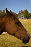 Końska głowa w profilu Fotografia Royalty Free