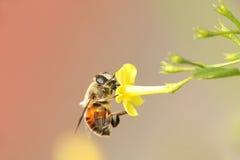 Końska komarnica i żółty kwiat w miękkim nastroju Obrazy Stock