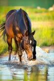 Końska pozycja w wodzie, Trakehner koń Obraz Stock