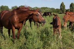 Koński łasowanie Zdjęcia Royalty Free