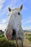 Koński śmieszny portret Obraz Royalty Free