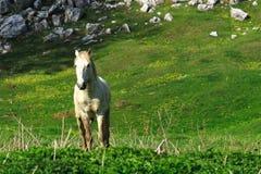 koński biały dziki Fotografia Stock
