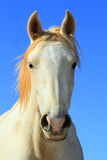 koński biały dziki Zdjęcie Royalty Free