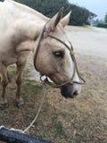 Koński biały zwierzę Zdjęcia Royalty Free