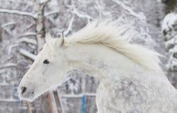 koński biel obrazy royalty free