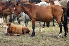 Koński bydlę w Hiszpania Obraz Royalty Free
