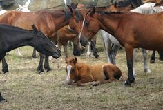 Koński bydlę w Hiszpania Zdjęcia Stock