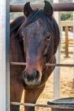 Koński czekanie uwalniać up w Rancho Oso, Kalifornia Zdjęcia Royalty Free