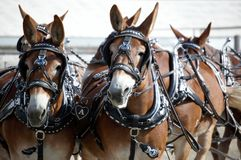 koński expo 2013 w Montana Obrazy Royalty Free