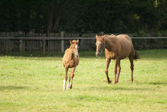 Koński i mały źrebię na paśniku obraz stock