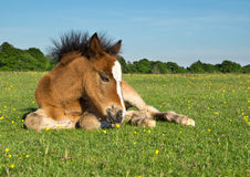 Koński konika źrebię Obrazy Stock