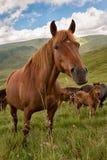 Koński pasanie na halnej łące Fotografia Royalty Free